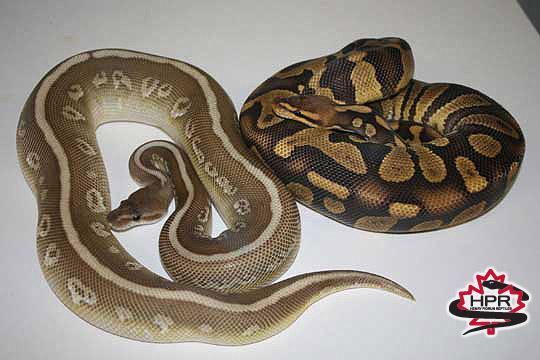 Henry Piorun Reptiles-Canadian Reptile Breeder