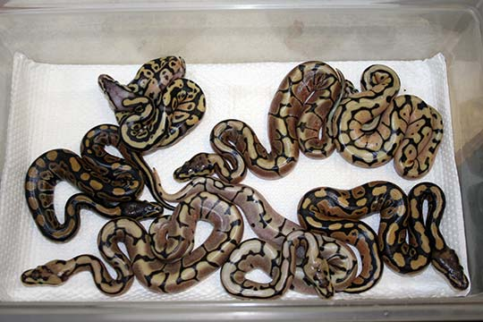 2013-Record of Clutches - Henry Piorun Reptiles